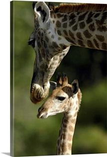 Giraffe with baby, Okavango Delta, Botswana