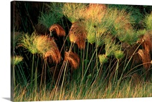 Grasses and tassles, Zambezi River area