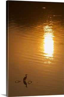 Great blue heron, stands silhouetted at sunrise on the Occoquan River