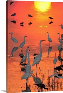 Great egrets and avocets in water at sunset, Smyrna, Delaware