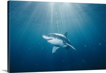 Great white shark in South Australia