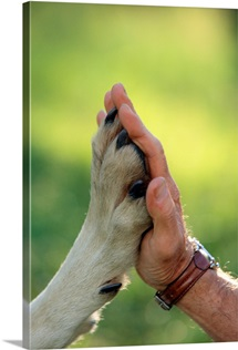 Hand to the paw of a gray wolf, Sawtooth Mountains, Idaho