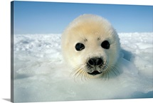 Harp seal pup, Gulf of St. Lawrence, Canada