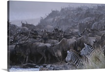 Herds of zebras and blue wildebeests prepare to cross the Mara River