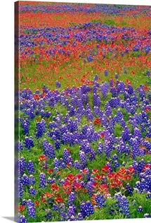 Hill Country wildflowers, including Sand Bluebonnets and Paintbrush, Texas