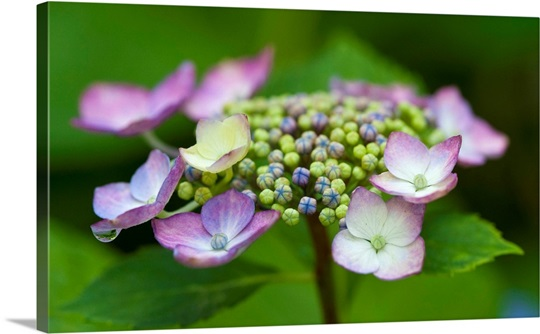 Hydrangea flowers and petals blooming, Arlington, Virginia