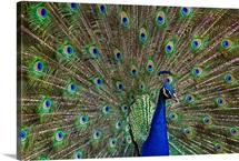 Indian Peafowl male with tail fanned out in courtship display