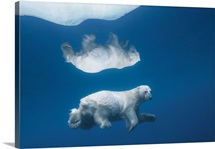 Its image mirrored in icy water, a polar bear swims submerged