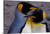 King penguins preening during courtship