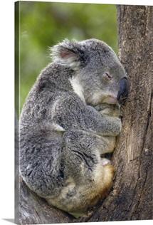 Koala sleeping, Lone Pine Koala Sanctuary, Brisbane, Australia