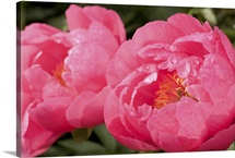 Large bright pink peony flowers, Paeonia species, with rain drops