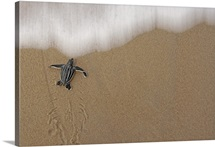 Leatherback turtle hatchlings, Matura Beach, Trinidad