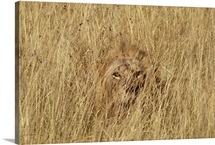 Lion male camouflaged in tall grass, Masai Mara National Reserve, Kenya