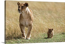 Lioness and cub, Masai Mara National Reserve, Kenya