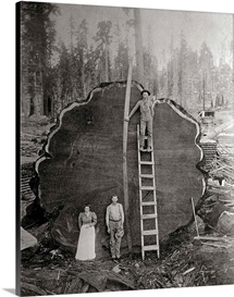 Loggers and the giant Mark Twain redwood cut down in 1892