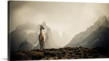 Lone guanaco stands guard over his herd in Torres del Paine National Park in Chile