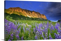 Lupine wildflowers at the base of Gothic Mountain