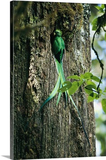 Male resplendent quetzal bearing food for its nestlings in a hollowed tree, Central America