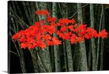 Maple leaves blazing with autumn color