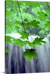 Maple leaves on a plant against the light