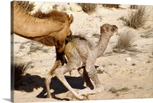 Minutes-old dromedary camel and it's mother in western Qatar desert