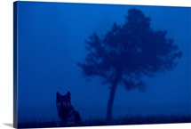 Misty view of a gray wolf sitting near a tree, Yellowstone National Park, Wyoming