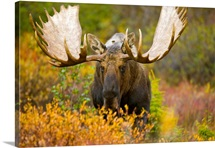Moose bull emerging from bushes in fall tundra during rut. Alces alces
