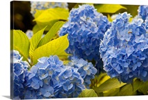 Mophead hydrangea flowers and leaves, Hydrangea macrophylla