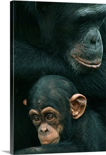 Mother chimp and baby chimp, Liberia, West Africa