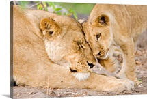 Mother lion and her cub nuzzling, Botswana, Africa