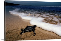 Newly hatched Leatherback turtle crawling into the surf on the beach, Playa Grande Beach, Costa Rica