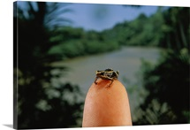 One of the worlds smallest frogs poses on a fingertip