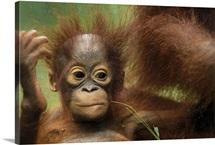 Orangutan baby, Camp Leaky, Tanjung Puting National Park, Indonesia