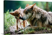 Parent and pup of captive Mexican gray wolves, Wichita, Kansas