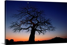 Plains, tree in twilight with moon, Zambezi River, Zambia
