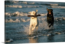Playing on the beach, a chocolate Labrador retriever chases after a yellow Labrador, Half Moon Bay, California
