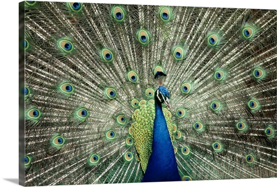 Plumage of an Indian peacock, Queensland, Australia