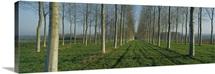 Poplar Plantation, France
