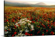 Poppies blooming, Galilee