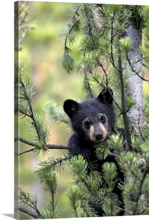 Portrait of a black bear cub climbing in a pine tree