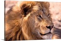 Portrait of a lion, Panthera leo