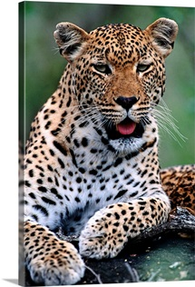 Portrait of a male ten-month-old leopard, Mala Mala Private Game Reserve, Republic of South Africa