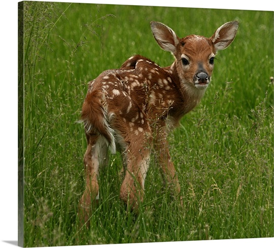 Portrait of a newborn baby white tailed deer Photo Canvas ... - photo#7