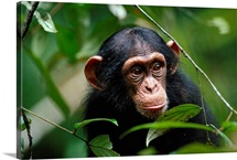 Portrait of a young chimpanzee in a rain forest tree, Tai National Park, Ivory Coast
