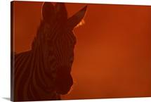 Portrait of a Zebra (Equus burchelli)