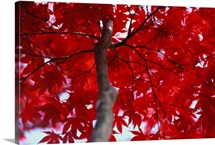 Red maple leaves, Brookside Gardens, Maryland