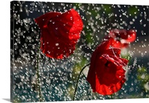 Red poppies being drenched in the rain