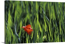 Red Poppy in wheat field, Barcelona, Spain