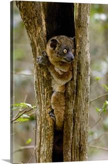 Red tailed Sportive Lemur, Madagascar