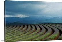 Rows of lavender under a storm cloud, Tasmania, Australia